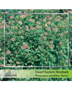 Dwarf Eastern Ninebark