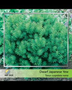 Dwarf Japanese Yew