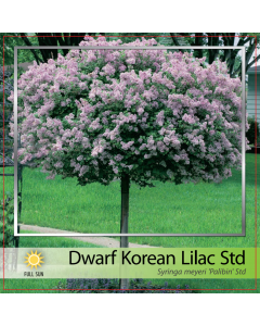 Dwarf Korean Lilac Std
