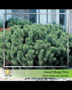 Dwarf Mugho Pine