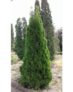 Emerald Cedar (ONT)