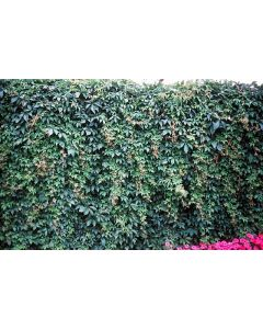 Engleman's Ivy