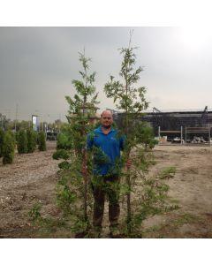 BareRoot Field Cedar (Hedging)