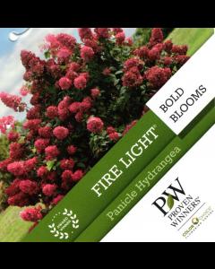 Fire Light Hydrangea
