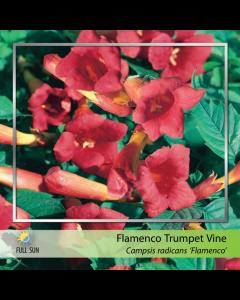 Flamenco Trumpet Vine