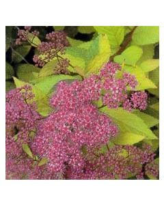 Flaming Mound Spirea
