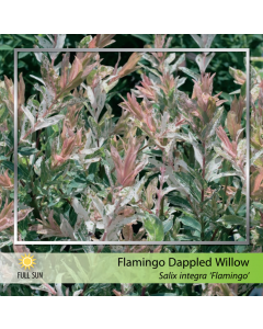 Flamingo Willow