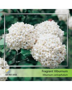 Fragrant Snowball Std
