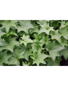 German Ivy
