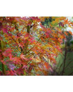 Glowing Embers Japanese Maple