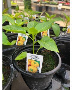 Organic Pepper California Wond