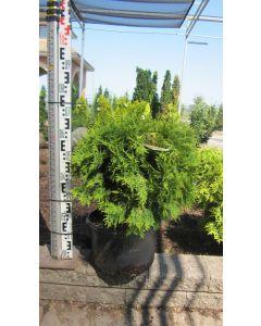 Golden Globe Cedar  40cm
