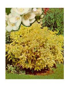 Golden Mockorange