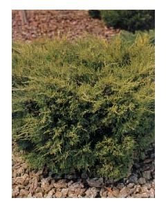 Golden Pfitzer Juniper