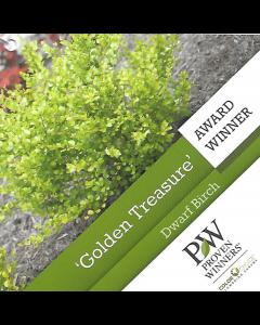 Golden Treasure Dwarf Birch