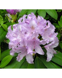 Grandiflorum Catawba Rhododend
