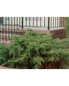 Green Pfitzer Juniper