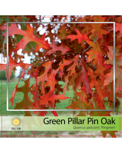 Green Pillar Pin Oak