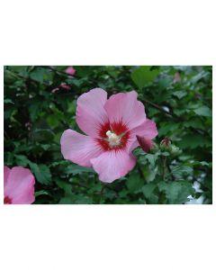 Hamabo Rose of Sharon