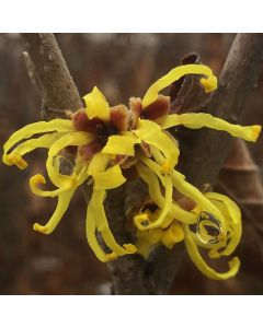 Chinese Witchhazel