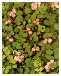 Hancock Coralberry
