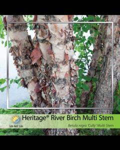 Heritage River Birch Clump