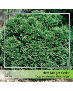 Hetz Midget Globe Cedar