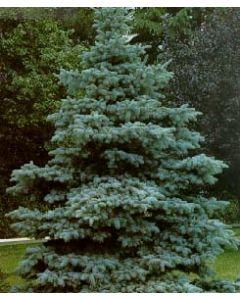 Hoopsi Blue Spruce
