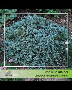 Icee Blue Juniper