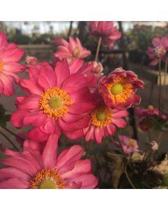 Anemone x 'CC Deep Rose' 1G