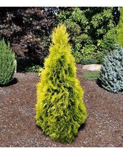 Amber Gold Cedar