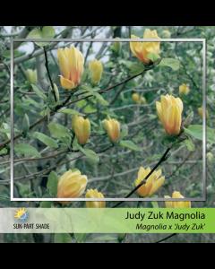 Judy Zuk Magnolia