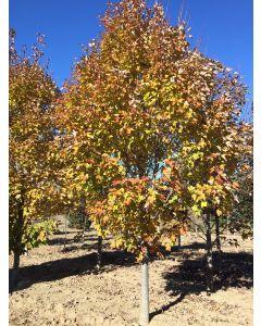 Karpick Red Maple