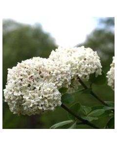 Korean Spice Viburnum Std