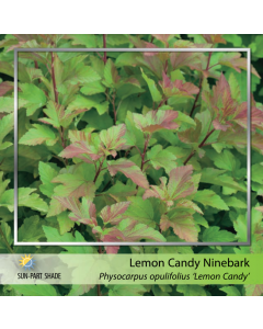 Lemon Candy Ninebark