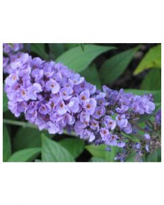 Lilac Chip Butterfly Bush
