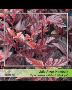 Little Angel Ninebark