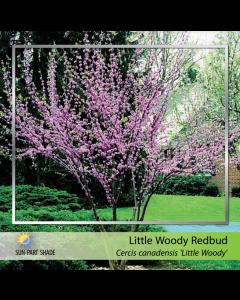Little Woody Redbud