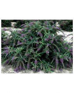 Lo & Behold Purple Haze Butter