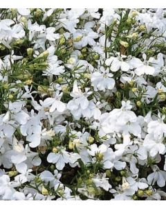 Lobelia Hot Snow White