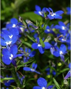 Lobelia Hot Royal Blue