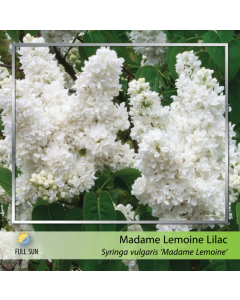 French Lilac Madame Lemoine