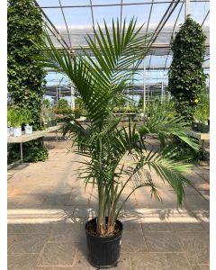 """12"""" Majesty Palm"""