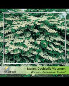 Doublefile Viburnum Maries