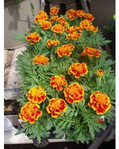 Marigold Flat Flame