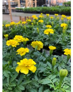 Marigold Flat Yellow