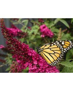 Miss Molly Butterfly Bush