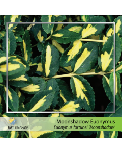 Moonshadow Euonymus
