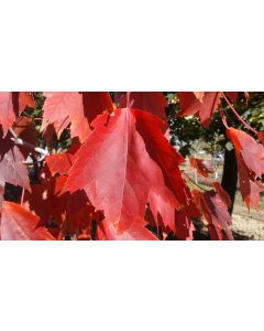 Native Red Maple Clump