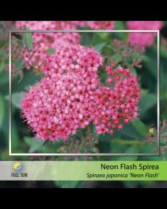 Neon Flash Spirea